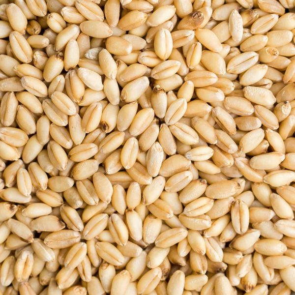 Durum wheat Online Wholesales. We have available Soft Milling Wheat for Sales. We do our best to supply you with Durum Wheat Grain Supplier.